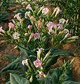 114px-Nicotiana_tabacum_Blüten