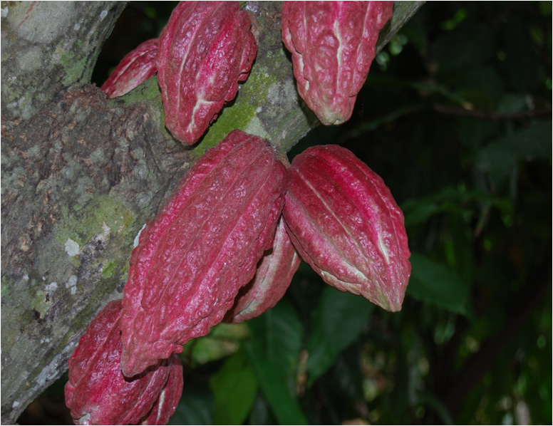 Cabosse_cacao