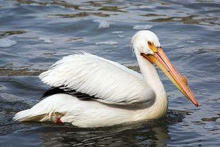American_White_Pelican_5691