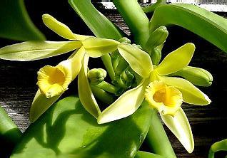 Vanilla_planifolia112686509